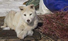 Het puppywesten Siberische Laika stock foto