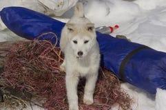 Het puppywesten Siberische Laika royalty-vrije stock foto