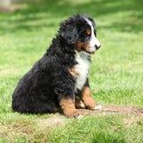 Het puppy van de Hond van de Berg van Bernese in de tuin royalty-vrije stock afbeelding
