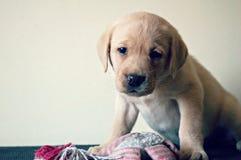 Het puppyzitting van Labrador met samendrukkingsstuk speelgoed Royalty-vrije Stock Foto's