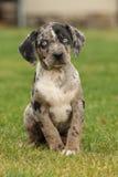 Het puppy van Louisiane Catahoula op het gras Royalty-vrije Stock Afbeeldingen