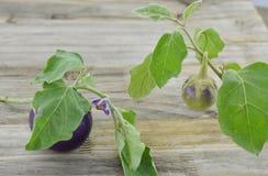 Het purpere aubergine groeien in een serre in Azië Stock Afbeelding