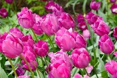 Het purpere bed van de tulpenbloem royalty-vrije stock foto's