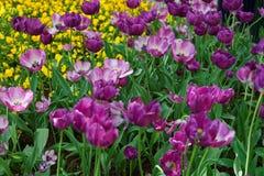 Het purpere bed van de tulpenbloem onder ander bloemenwashington dc Royalty-vrije Stock Afbeelding