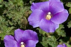 Het purpere bloeien alyogyne ook bekend als een lilac hibiscus stock foto
