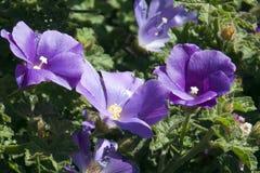 Het purpere bloeien alyogyne ook bekend als een lilac hibiscus stock afbeeldingen