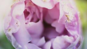 Het purpere bloem bloeien, die zijn bloesem openen Epische tijdtijdspanne Prachtige aard Futuristische Wereld stock videobeelden