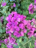Het purpere bloemen bloeien Stock Afbeeldingen