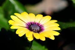 Het purpere centrum Osteospermum bloeit de gele madeliefjes van de madeliefjebloem Stock Foto's