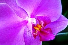 Het purpere close-up van de orchideebloem flora Thailand macrobeeld van een orchidee de tropische bloem stock afbeeldingen