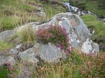 Het purpere Heide groeien bovenop een rots in Groene Heuvels bij Glenshee-Vallei, Grampian-Bergen, Schotland stock foto