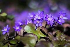 Het purpere hepaticabloem groeien in het bos in een de lentetijd royalty-vrije stock afbeelding
