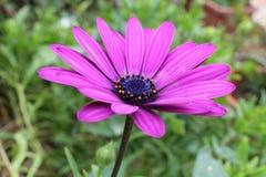 Het purpere madeliefje van Osteospermumdimorphoteca Royalty-vrije Stock Foto's
