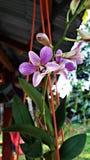 Het purpere orchidee bloeien royalty-vrije stock fotografie