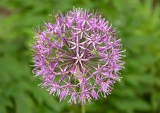 Het purpere reuzeknoflook bloeit dicht omhoog stock afbeelding
