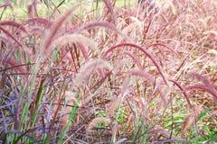 Het purpere of roze gebied van het fonteingras, natue achtergrond stock afbeelding