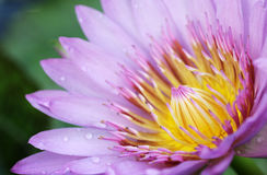 Het purpere roze stuifmeel van Lotus stock fotografie