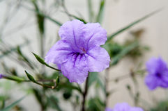 Het purpere Ruellia-Bloeien Royalty-vrije Stock Fotografie