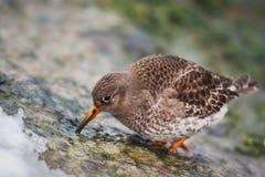 Het purpere strandloper voeden op een rots tijdens de winter royalty-vrije stock foto's