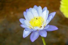Het purpere water van de lotusbloembloem met insect Stock Foto's