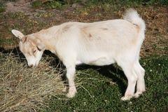 Het Pygmy geit voeden Royalty-vrije Stock Afbeeldingen