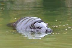 Het Pygmy hippo zwemmen stock afbeelding