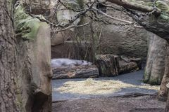 Het pygmy nijlpaard royalty-vrije stock foto's