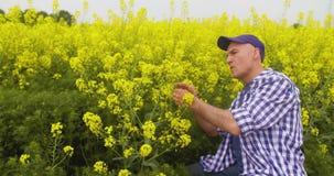 Het Raapzaadbloesem van landbouwersexamining and smelling bij Gebied stock footage