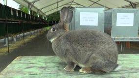 Het ras van de konijnchinchilla, de tentoonstelling stock footage