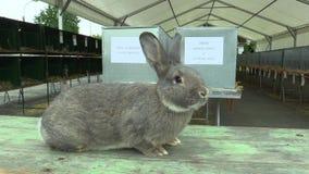 Het ras van de konijnchinchilla, de tentoonstelling stock video