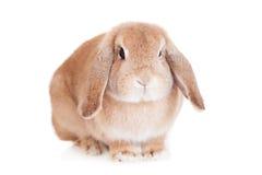 Het ras van de konijnram, rode kleur Stock Afbeeldingen