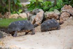 Het ras van de schildpadfamilie Stock Afbeelding