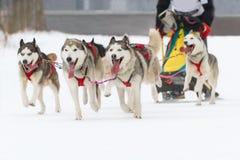 Het ras van de sleehond op sneeuw in de winter Royalty-vrije Stock Foto's