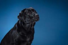 Het ras zwart Labrador van de portrethond op een studio Stock Afbeeldingen