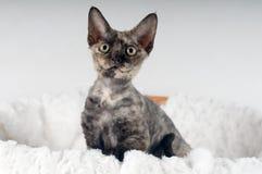 Het rasechte katje van Devon rex Royalty-vrije Stock Foto