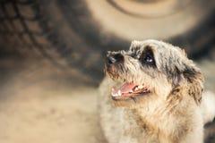 Het rasechte krullende rode en witte hond liggen Royalty-vrije Stock Foto's
