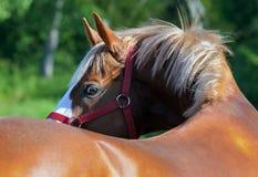 Het rasechte paard die van Nice terug eruit zien Stock Foto's
