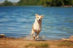 Het rasechte rode en witte hond rusten Royalty-vrije Stock Afbeeldingen