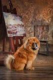 Het rassenChow-chow van de hond Stock Fotografie