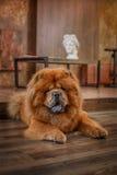 Het rassenChow-chow van de hond Royalty-vrije Stock Afbeelding
