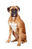 Het rassenhond van de bokser Stock Foto's