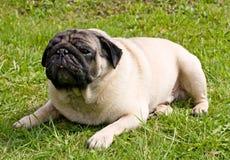 Het rassenpug van de hond Stock Afbeelding