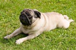 Het rassenpug van de hond Royalty-vrije Stock Afbeelding