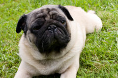 Het rassenpug van de hond Royalty-vrije Stock Foto