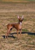 Het rassenstuk speelgoed van de hond terriër op aard Royalty-vrije Stock Foto's