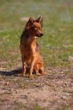 Het rassenstuk speelgoed van de hond terriër op aard Stock Afbeeldingen