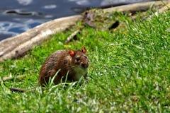 Het rattenleven op de vijver Royalty-vrije Stock Foto