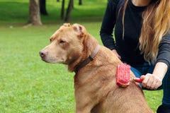 Het regelmatige geven voor hond Vrouw die haar bruine pitbull borstelen stock foto