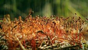 Het regenen op het mos Sporophytes stock footage