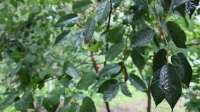 Het regent op de kers-boom stock videobeelden